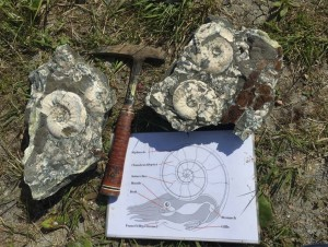 Large Kosmoceras Jason ammonite blocks